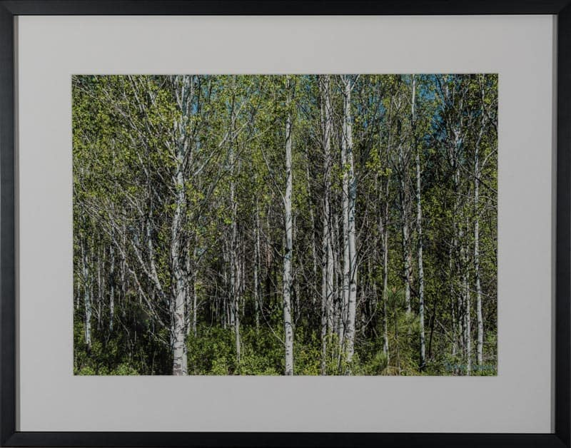 Birches/ Open Edition By David Sussan